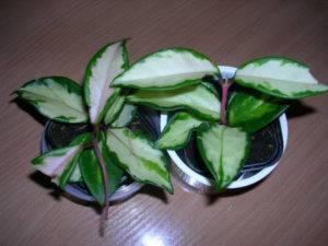 Хойя вайети (hoya wayetii): фото, описание, способы размножения, посадка и уход за растением