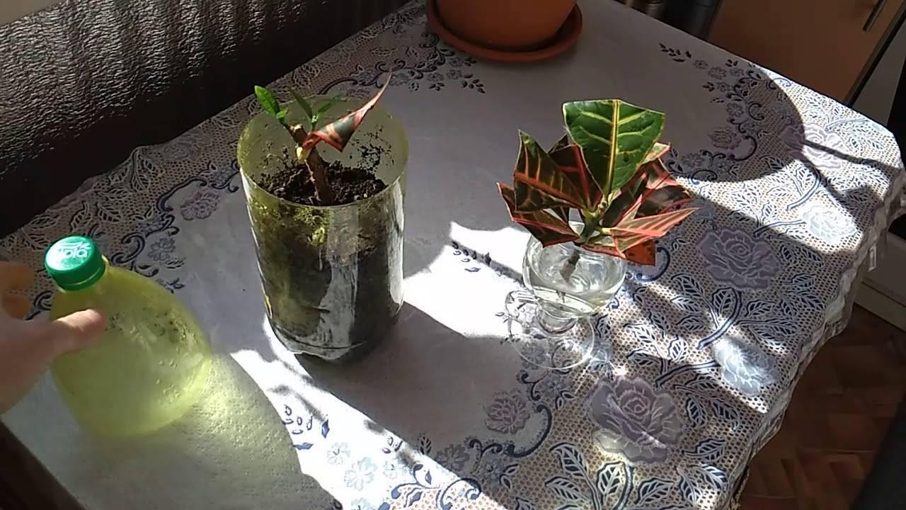 Кротон — уход в домашних условиях и как поливать это растение