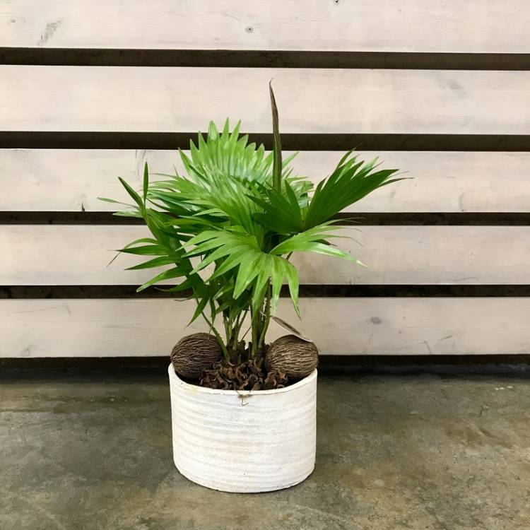 Пальма ливистона в домашних условиях