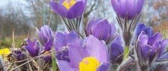 Сцилла или пролеска, все о ярком весеннем первоцвете