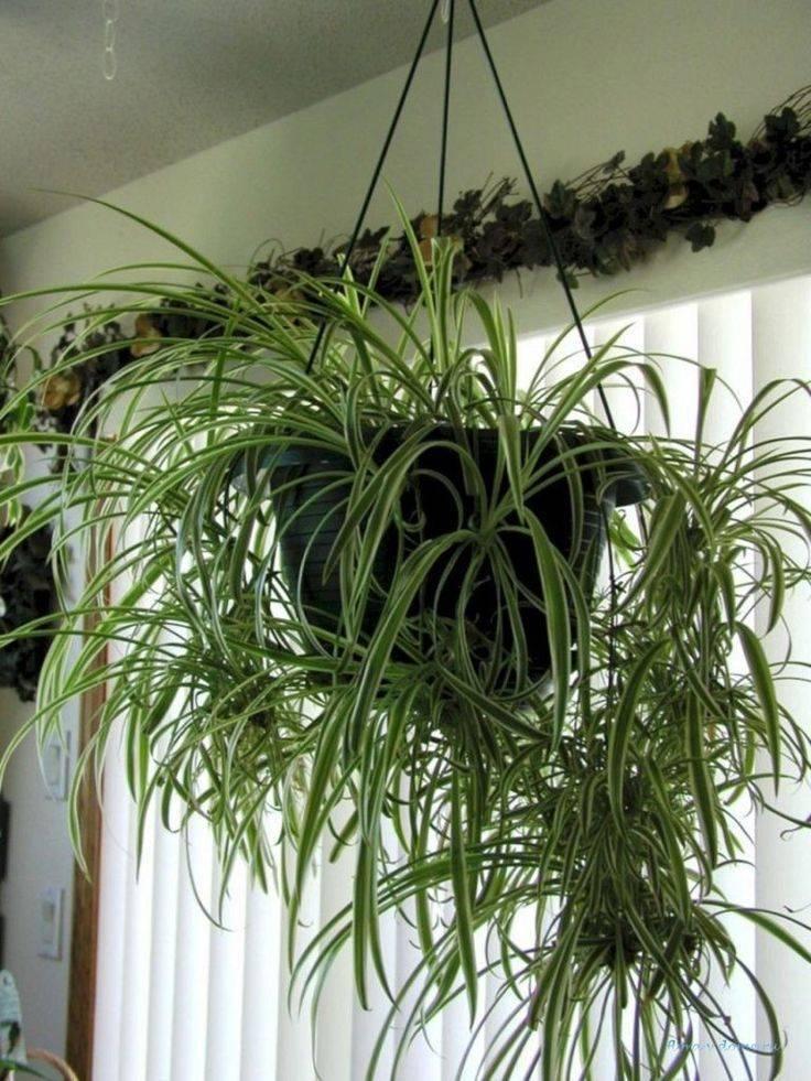 Хлорофитум кудрявый — уход в домашних условиях