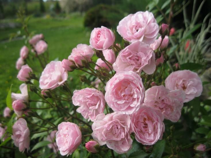 О мускусных розах: описание и характеристики гибридов и сортов, посадка и уход