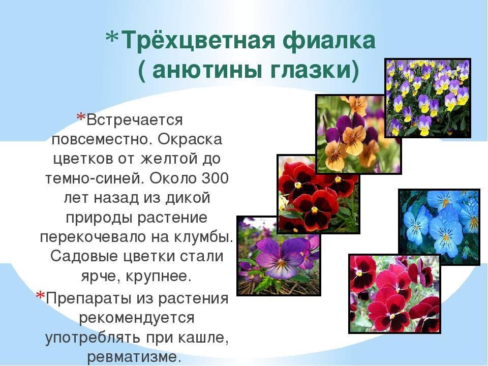 Фиалка трехцветная: лечебные свойства, противопоказания, применение в медицине