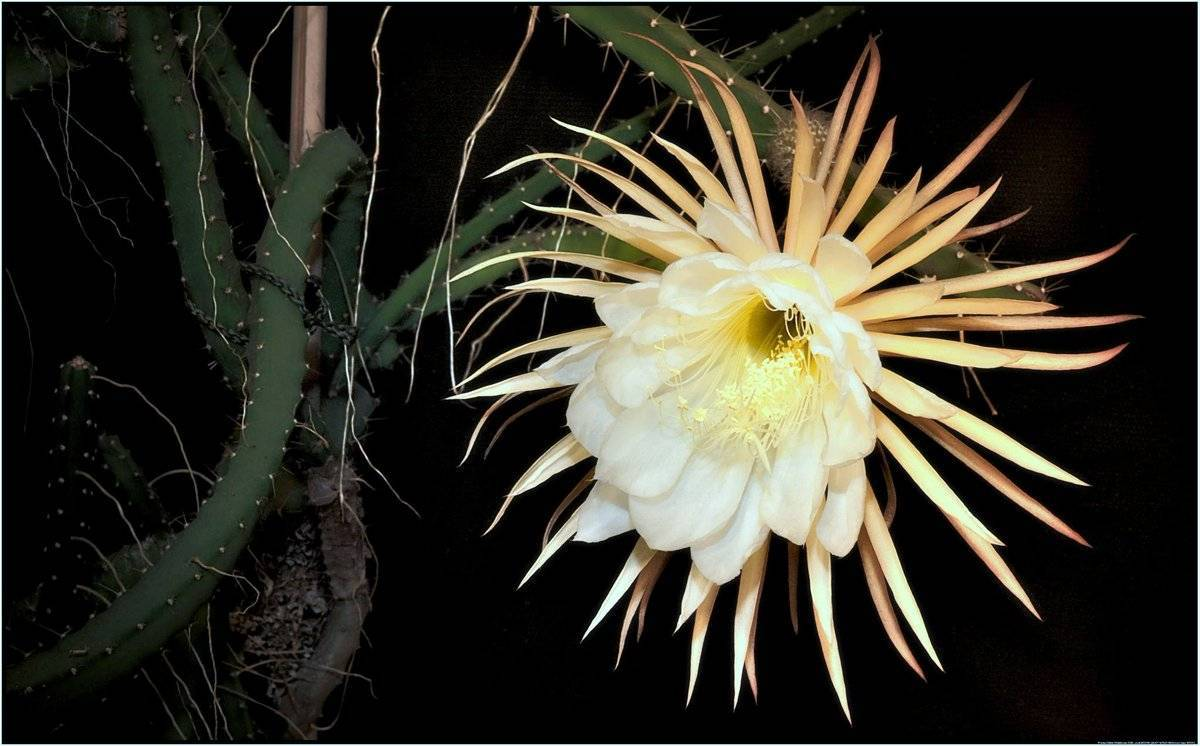 Причины почему можно или нельзя держать кактус в доме, варианты расположения
