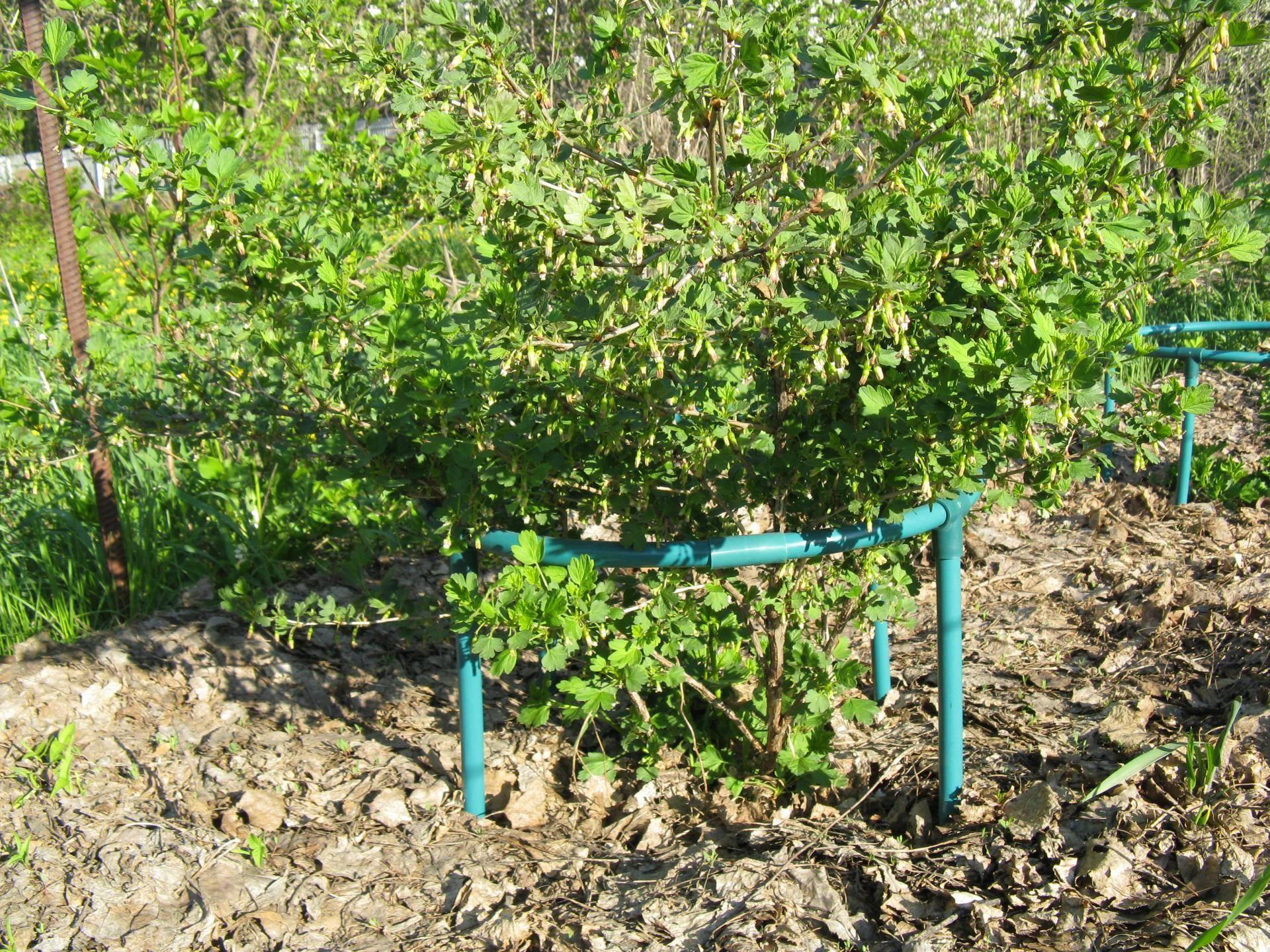Как сажать крыжовник весной и осенью. секреты хорошего урожая крыжовника.