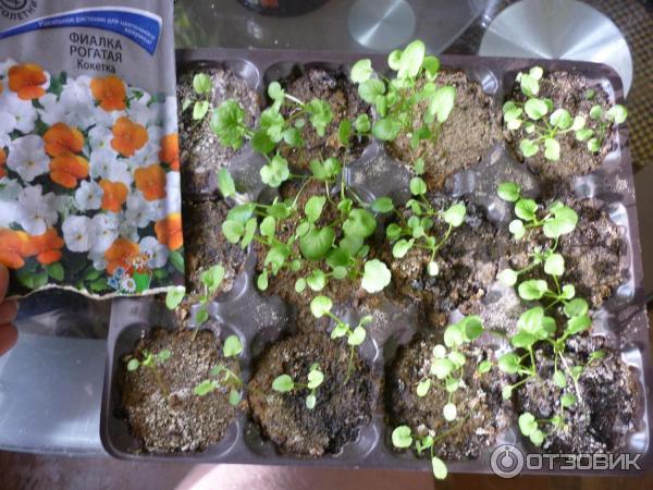 Фиалка душистая: описание и выращивание из семян