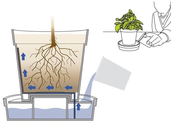 Как вырастить дома розмарин