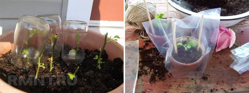 Как правильно посадить привитую розу: надо ли заглублять корневую шейку