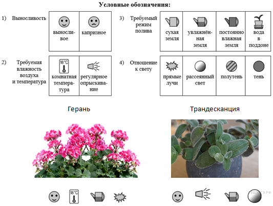 Цветок clerodendrum thomsoniae — уход в домашних условиях