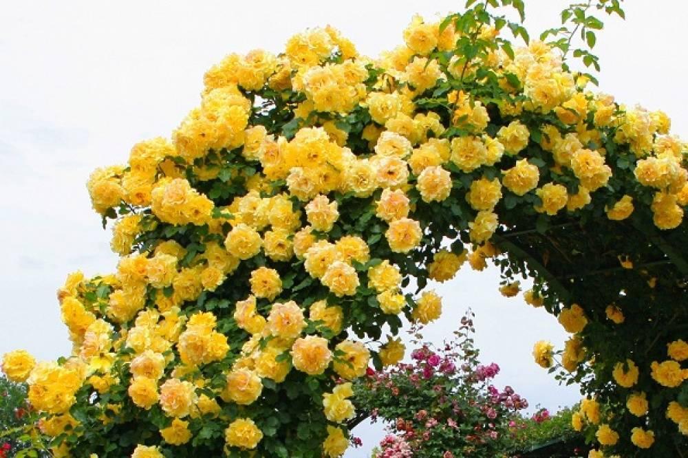 Описание плетистой розы сантана: как ухаживать за чайно-гибридным кустарником
