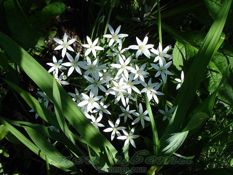 Как выращивать птицемлечник зонтичный в открытом грунте: посадка цветка и уход
