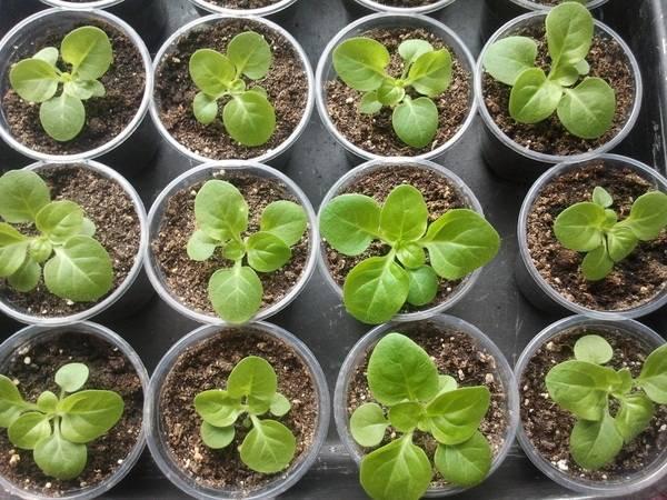 Катарантус: выращивание из семян в домашних условиях - подробная информация!