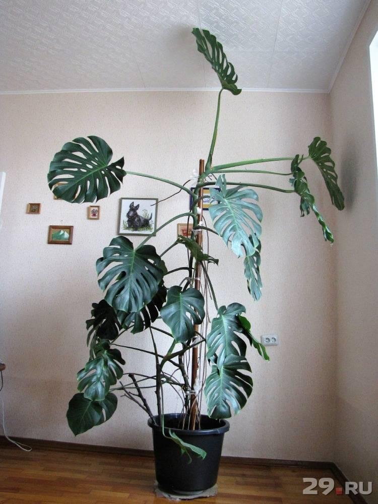 Цветок монстера: как ухаживать в домашних условиях