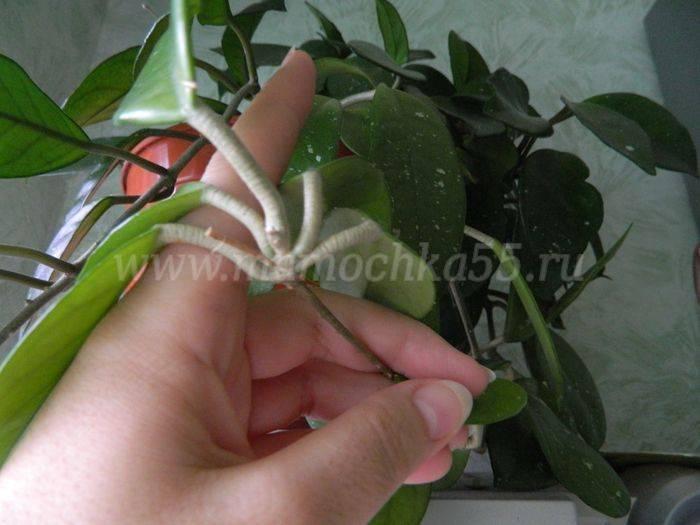 Фаленопсис размножение в домашних условиях: примеры детками и черенками - pocvetam.ru