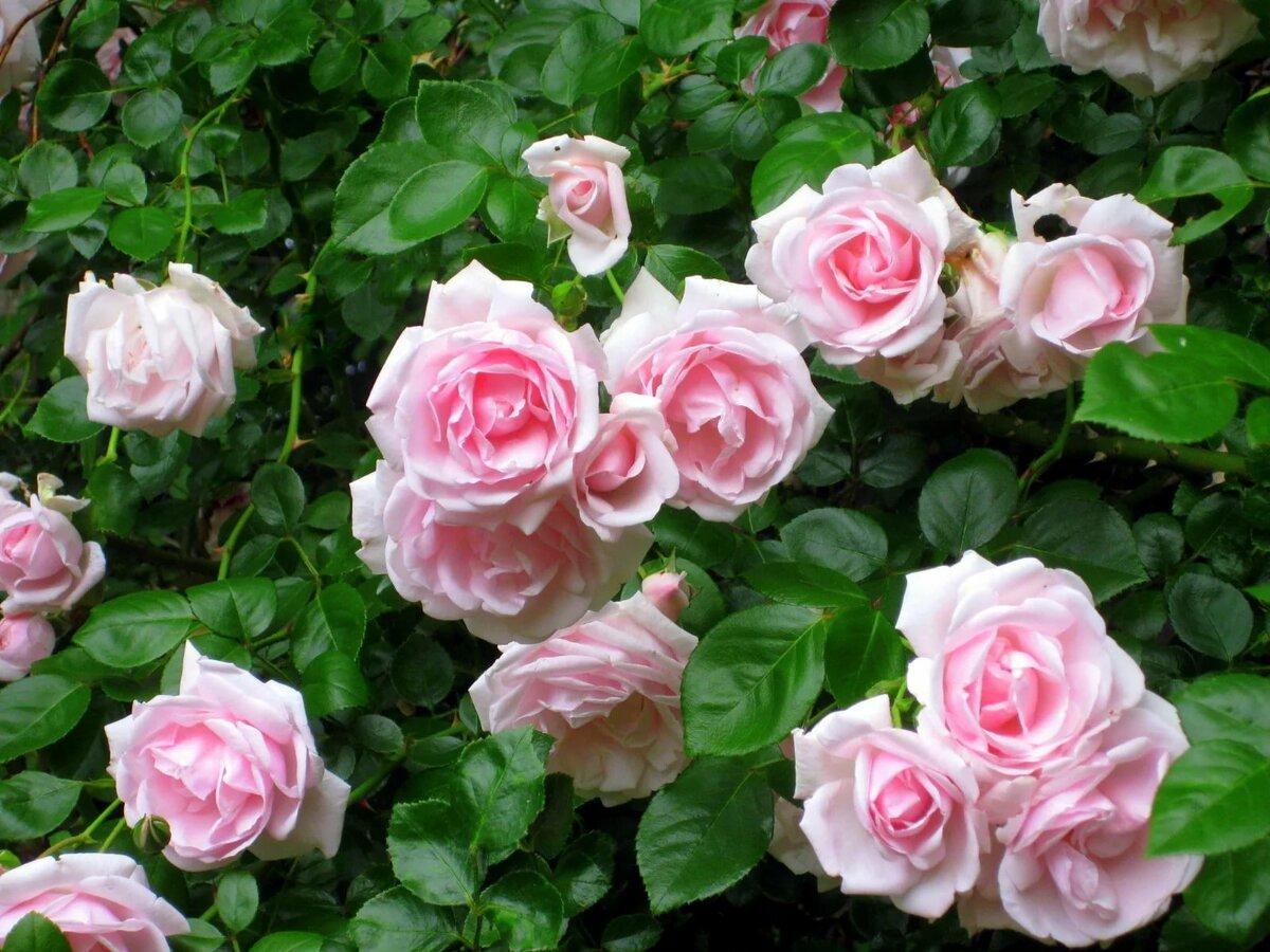 розы плетистые фото с названием сорта мебель, один