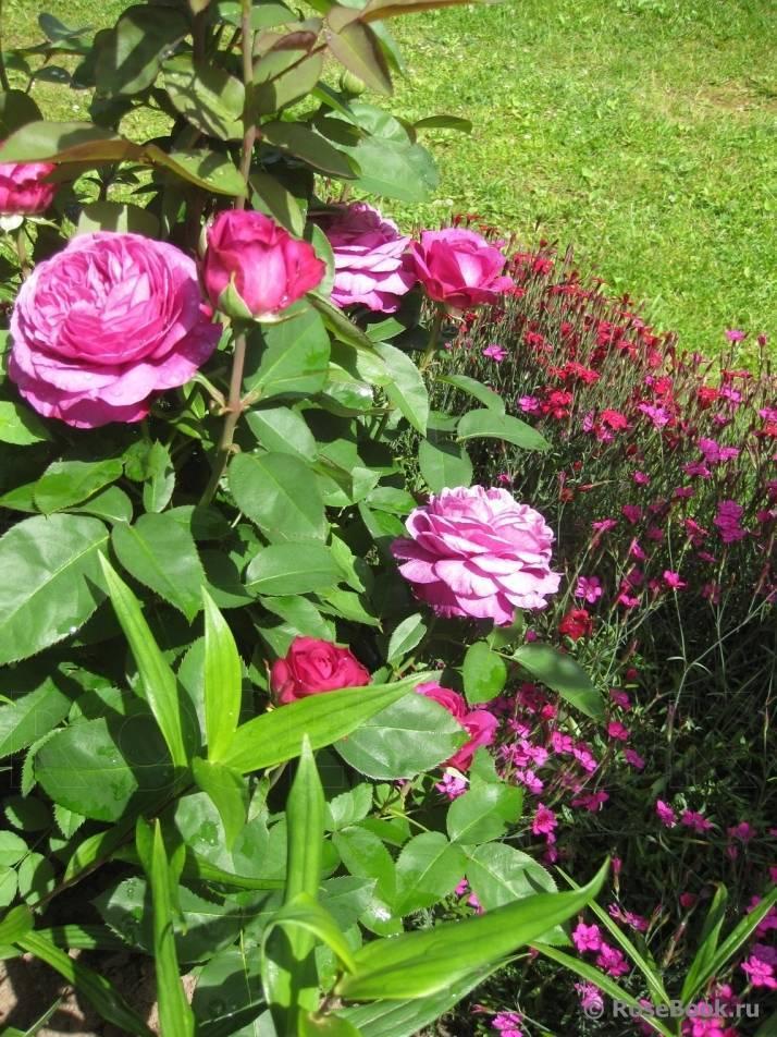 Английский сорт розы фишерман френд: описание полуплетистого куста, как ухаживать