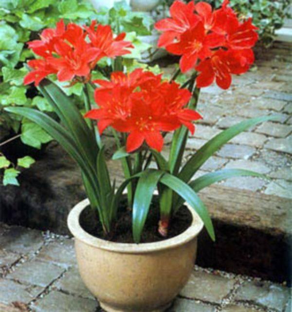 Валлота vallota - выращивание и уход
