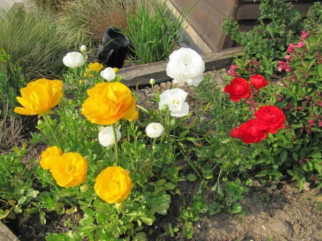 Непростой садовый лютик - ранункулюс
