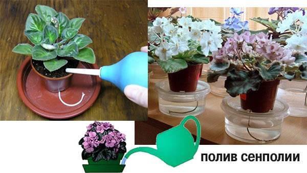 Как поливать фиалки в домашних условиях в горшке, летом, зимой