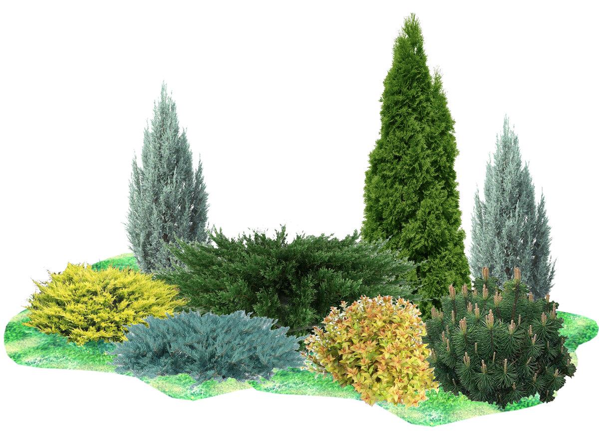 Какие растения можно и нельзя сажать рядом с туей