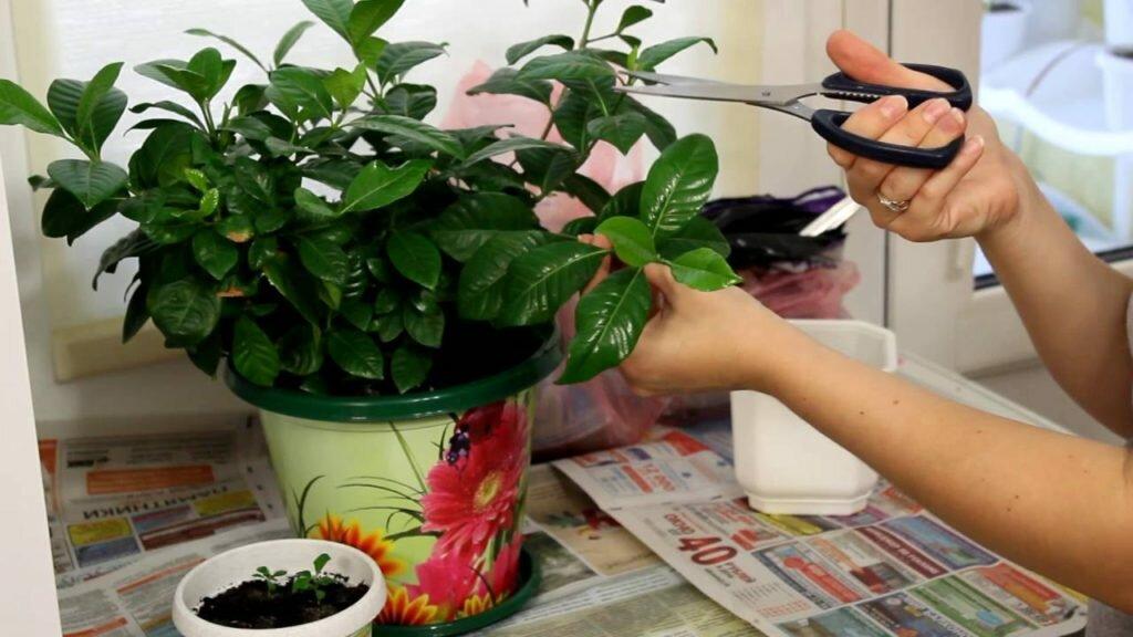 Лимонник китайский: выращивание и уход, разведение и польза