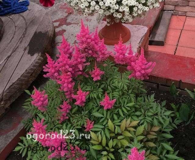 Астильба в открытом грунте и дома - сорта, пересадка, обрезка, время цветения, размножение