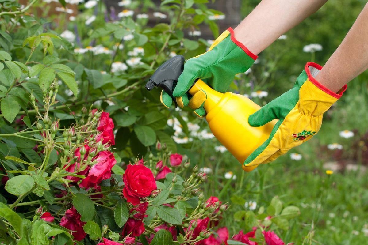 Какое удобрение подойдет комнатным розам и как правильно вносить подкормку?