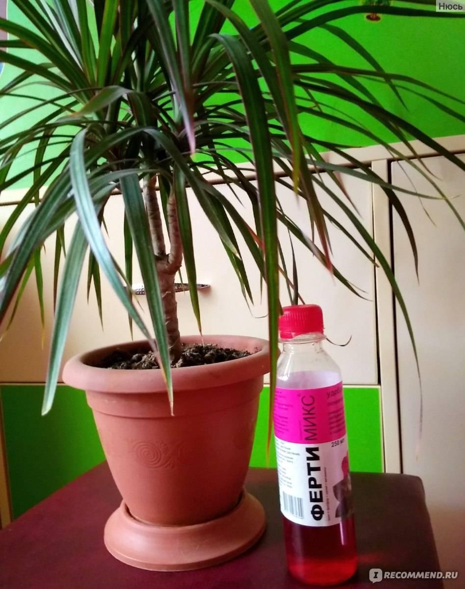 Как посадить и ухаживать за драценой деремской дома: выращивание, грунт, полив