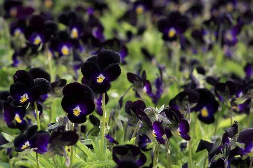 Виола: посадка и уход в открытом грунте, выращивание из семян, фото