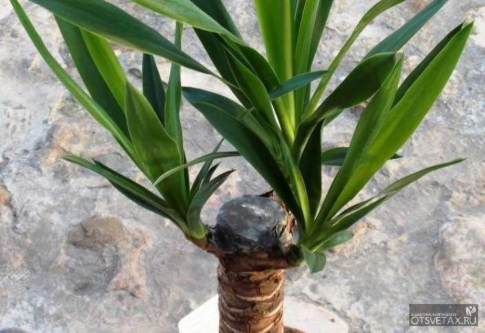 Домашняя юкка: уход в домашних условиях, фото цветка, полив, как посадить в горшок растение