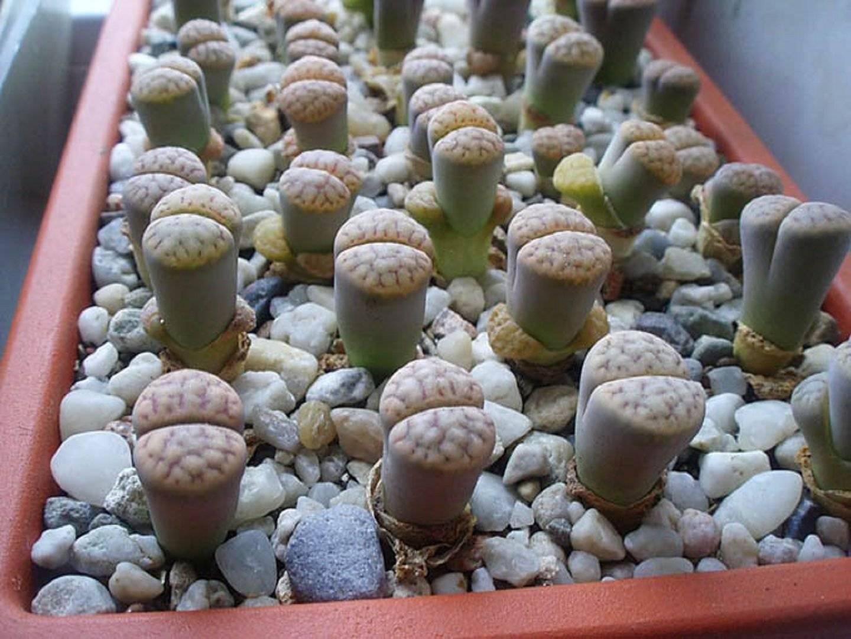 Выращивание и размножение гиппеаструма из семян и фото