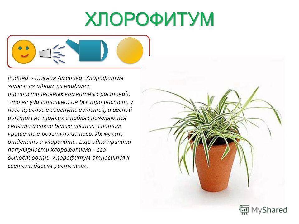 Особенности выращивания сансевиерии цилиндрической: посадка и условия содержания