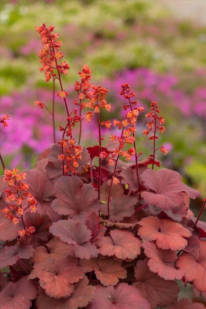 Гейхера: популярные сорта растения по цвету листьев (с фото)
