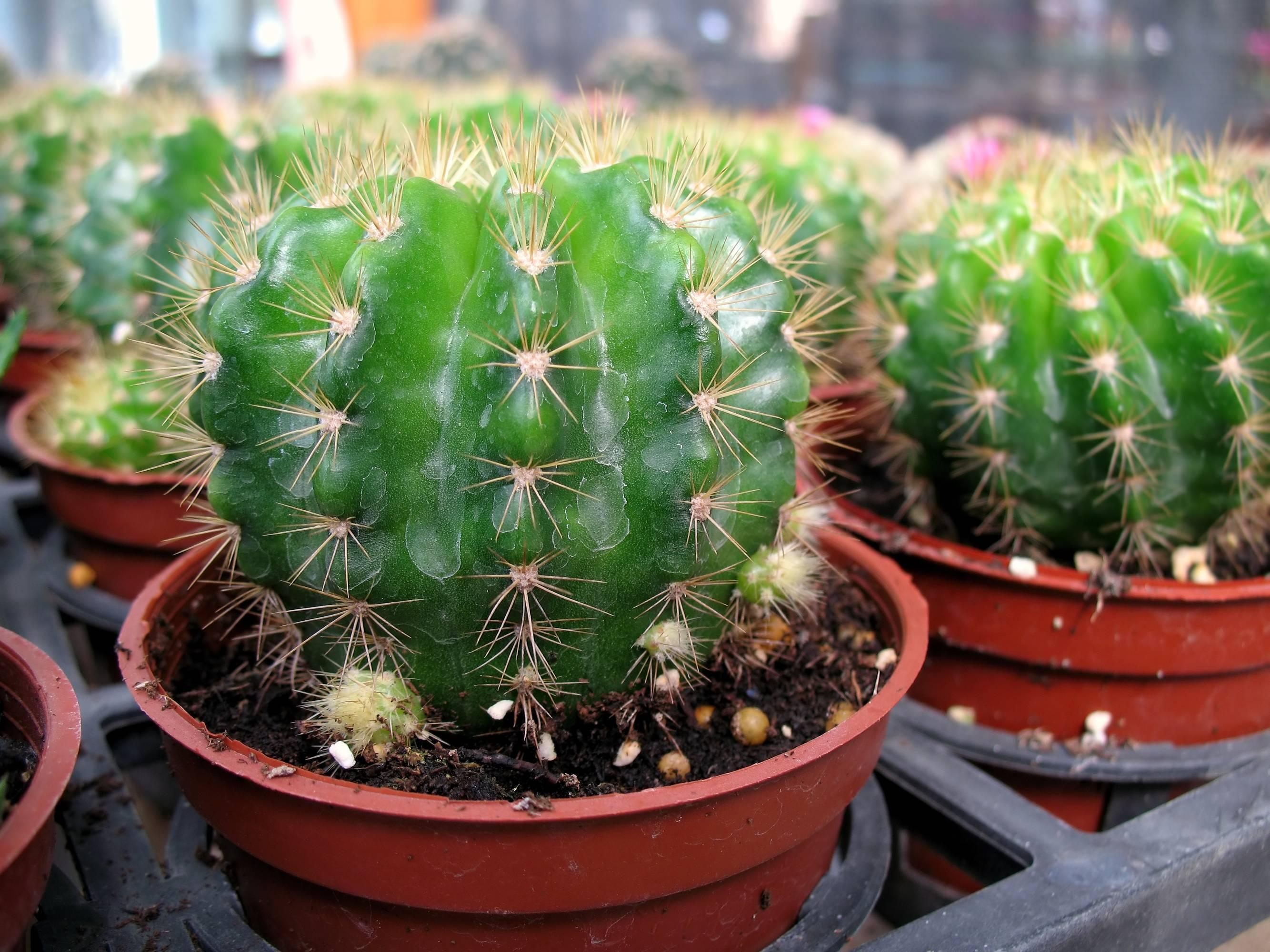 Выращивание кактусов в открытом грунте - энциклопедия цветов