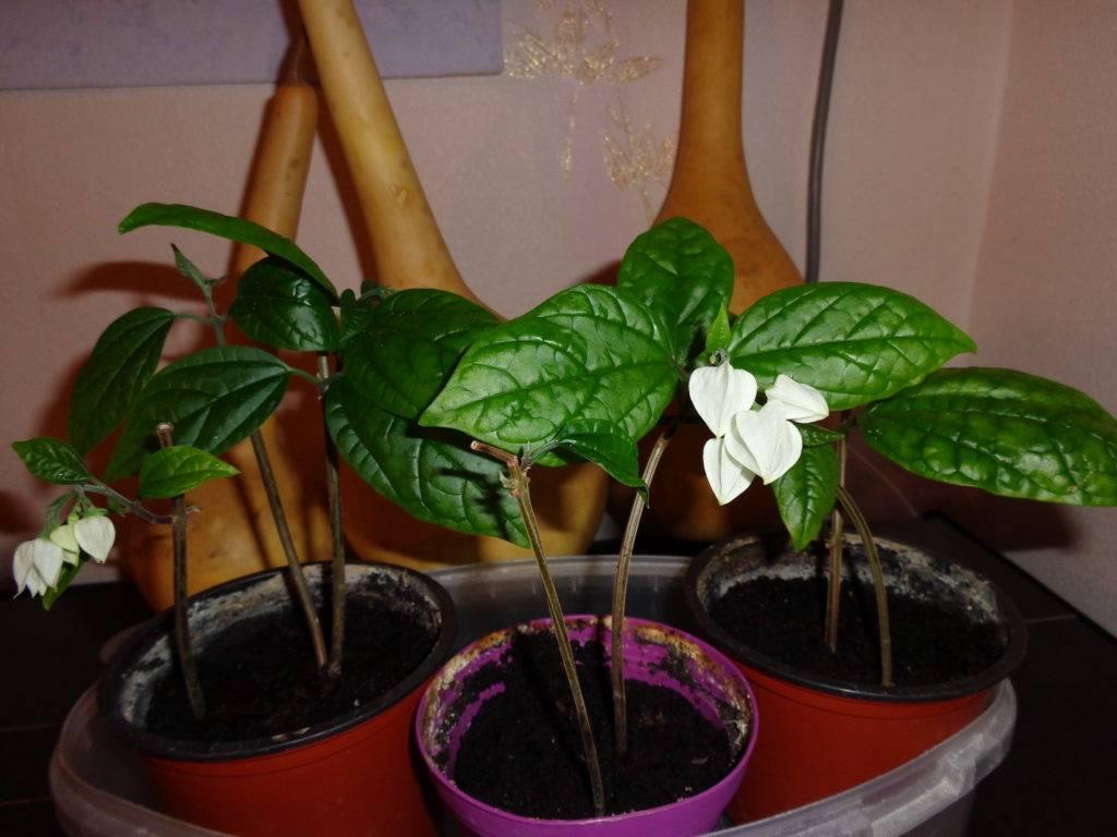 Клеродендрум томпсона: уход и выращивание (50 фото)