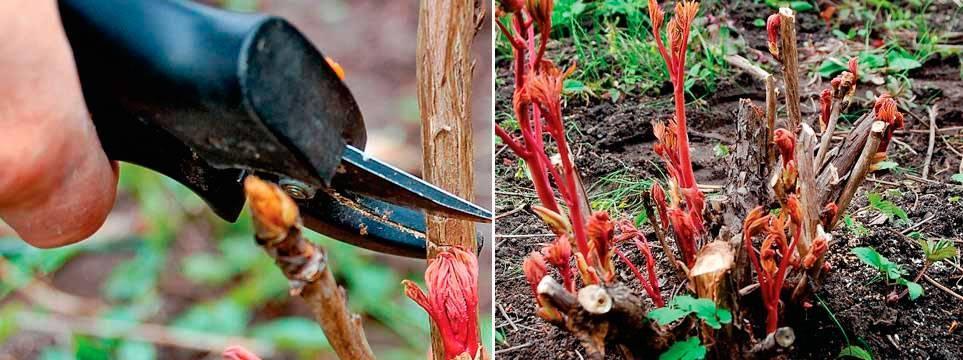 Когда и как посадить древовидный пион