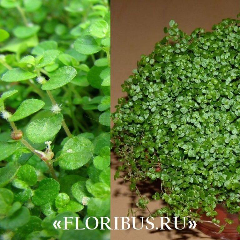 Растение солейролия или гелскина