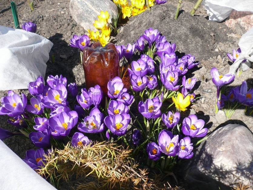 Все о видах крокусов: весенние и осенние — выращивание и уход после цветения