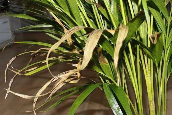 Что делать если хамедорея сохнут листья. почему сохнут листья у хамедореи?