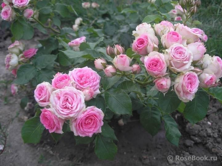 Роза мими эден