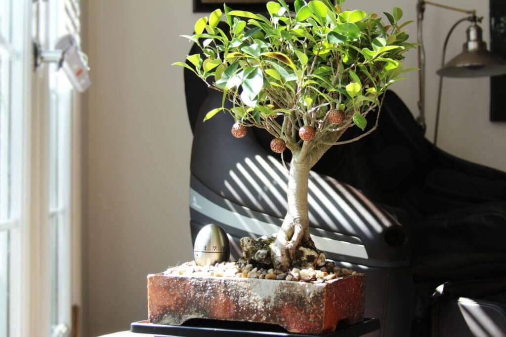 Как вырастить миниатюрное дерево в домашних условиях: все об искусстве бонсай