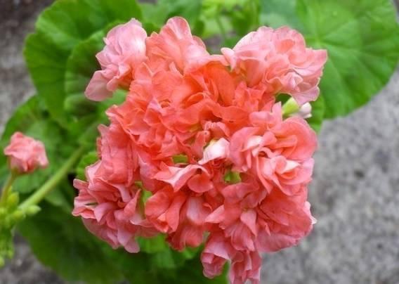Пеларгония дениз: посадка, выращивание и уход, а также фото этого растения
