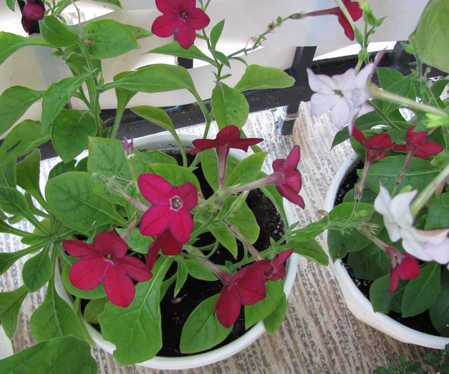 Душистый табак посадка и уход фото когда сеять семена