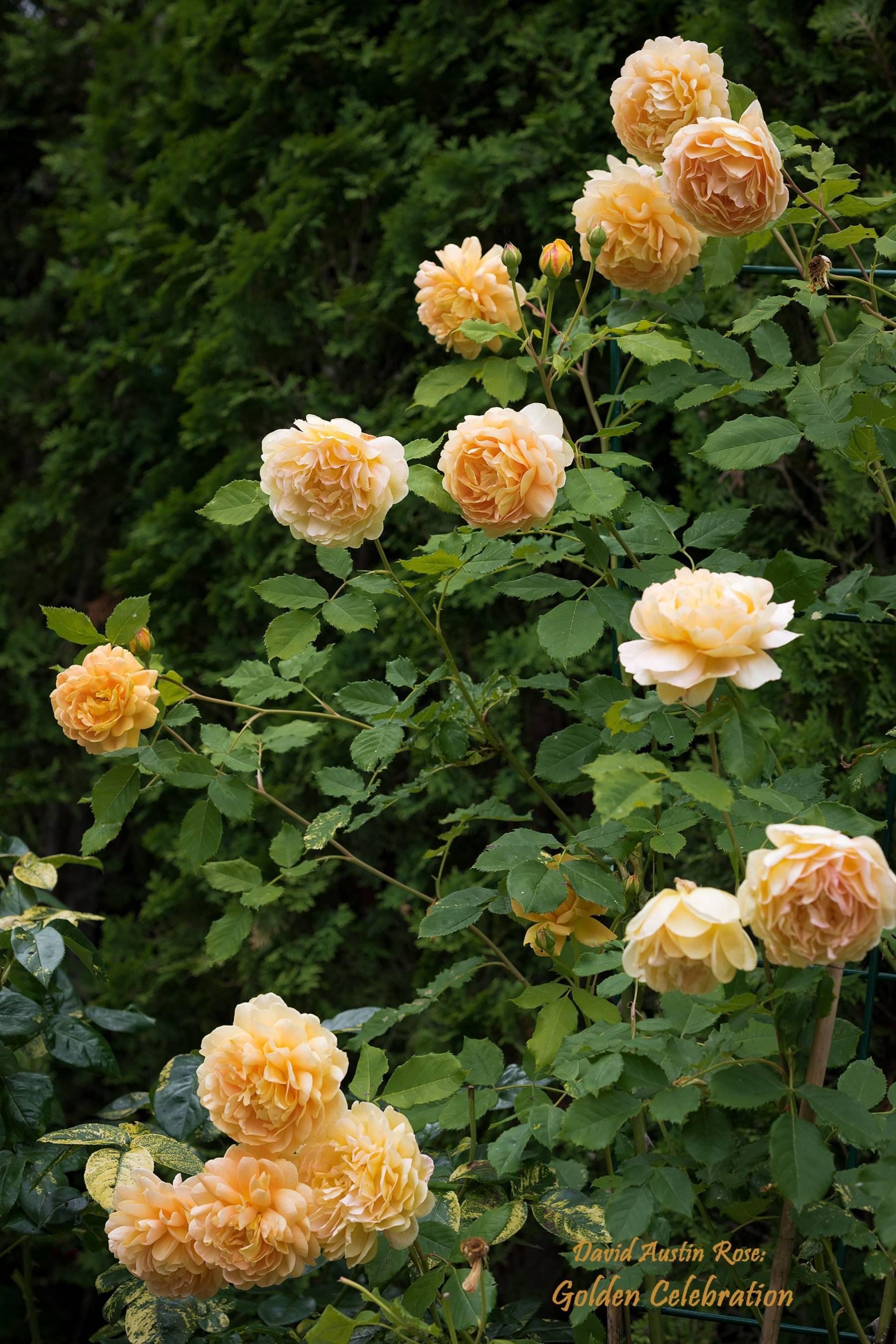 Описание сорта голден селебрейшен. описание розы «голден селебрейшн» (golden celebration) с отзывами и уходом роза английская голден селебрейшен