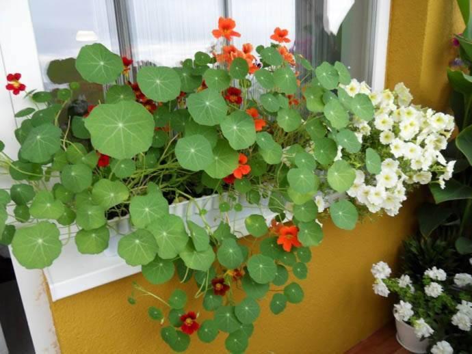 Настурция: описание, выращивание цветов и их полезные свойства