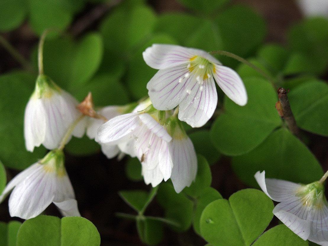 Кислица (оксалис): фото цветка, описание и распространенные виды растения