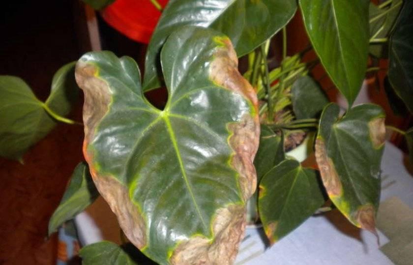 Почему у алоэ сохнут кончики листьев: причины и способы устранения проблемы