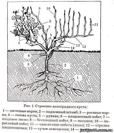 Чубушник — король неприхотливых кустарников