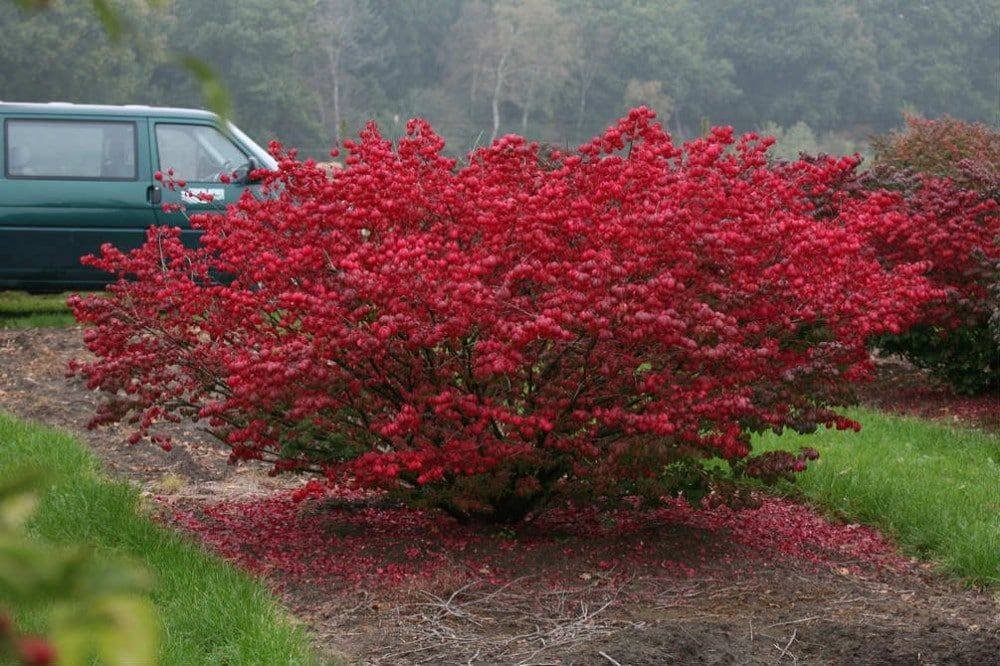 Бересклет форчуна (56 фото): посадка и уход в открытом грунте, использование в ландшафтном дизайне, выращивание как комнатное растение, описание и сорта