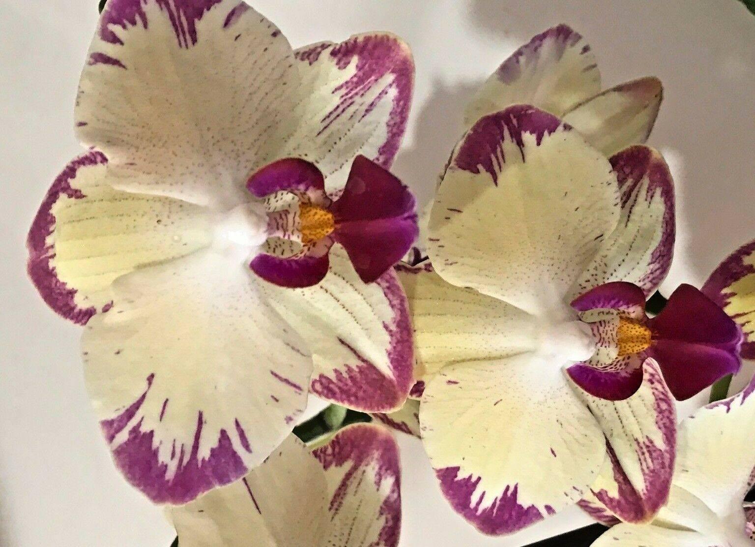 Орхидея каода: чем отличается от остальных видов, как сорта выглядят на фото и какой уход обеспечить до и после цветения?